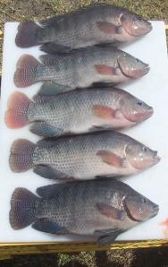Nile tilapia 30 weeks old/ 480 plus grams